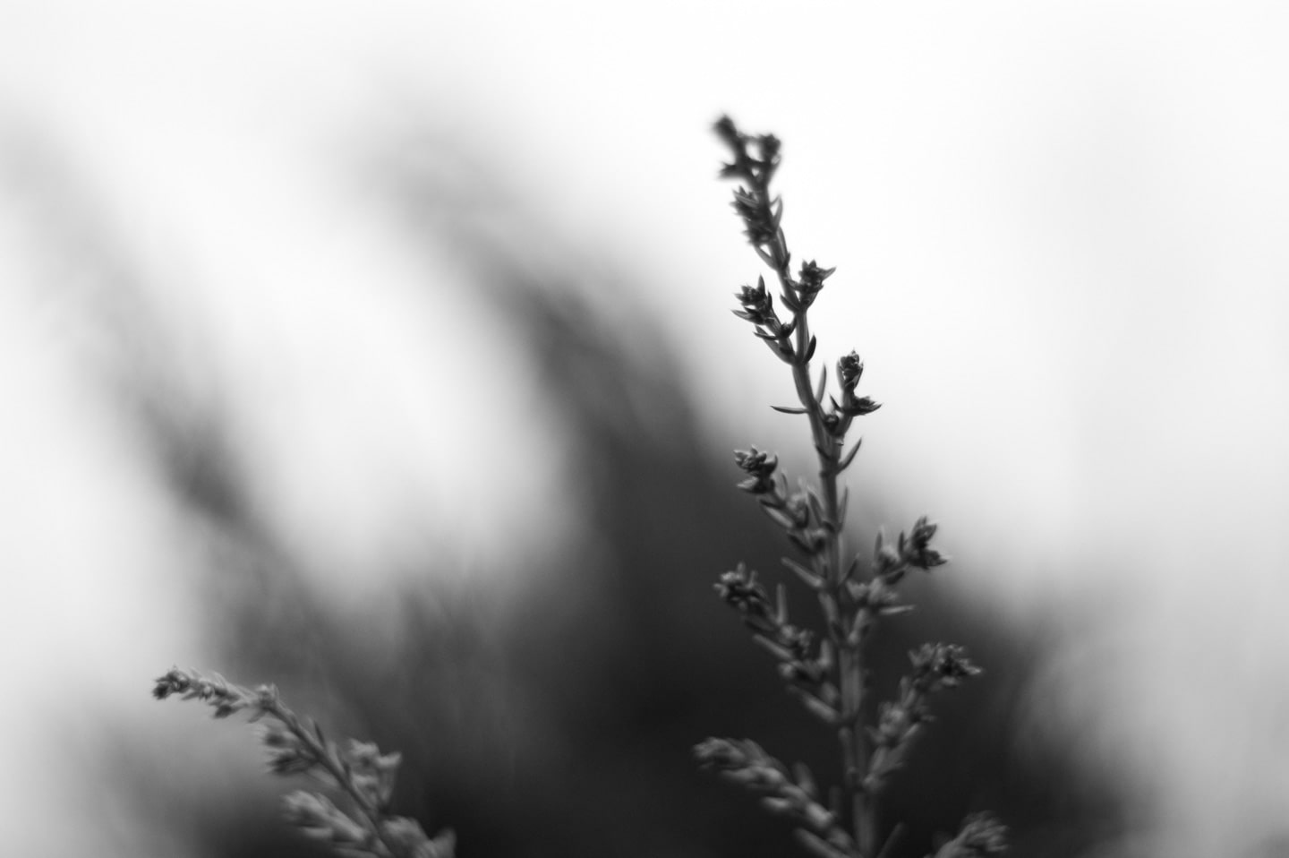A black and white photograph of two juniper branches close up. In the background, totally out of focus, the rest of the bush echoes the curved shapes of the branches. Behind that is the soft white sky.